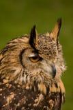Bengalese Eagle Owl. Captive Bengalese Eagle Owl shot on the South Coast of England Stock Image