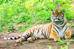 Bengalese Male Tiger. Large Bengalese Male Tiger Smelling The Air In The Forest Royalty Free Stock Images