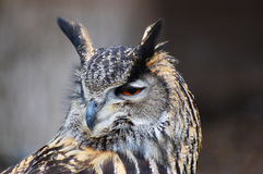 Bengalese rock eagle owl. Eagle owl with head revolved looking over its shoulder royalty free stock image