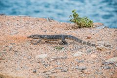 Bengalesis do Varanus Imagem de Stock Royalty Free