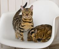 Bengali cats stock images