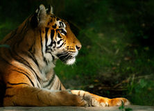 Bengali Tiger. Sunbathing in early morning sun royalty free stock photos