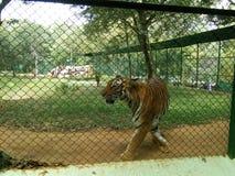 Bengali tiger Arkivfoton