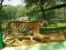 Bengali tiger Arkivbilder