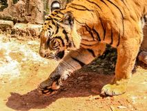 Bengali Tiger. On walk Stock Image