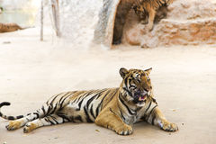 Bengali tigers in Tiger Temple Stock Photo