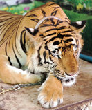 Bengali tigers in Tiger Temple Royalty Free Stock Photography