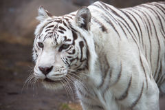 Bengali (white) tiger Stock Photo