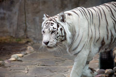 Bengali (white) tiger Royalty Free Stock Photo