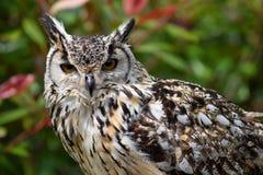 Bengalia Eagle sowa zdjęcia stock