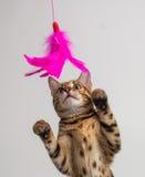 Bengalia kot bawić się na białym tle obraz royalty free