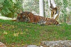 Bengalia królewski tygrys Obraz Royalty Free