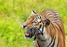 Bengalia królewski tygrys Zdjęcia Royalty Free