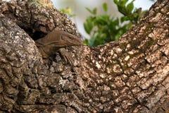 Bengalia monitor lub Varanus bengalensis Zdjęcia Stock