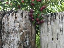 Bengalia rodzynku owoc Obrazy Royalty Free