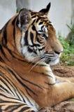 Bengalia tygrys Obrazy Royalty Free