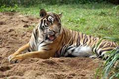 Bengalia tygrys Zdjęcia Stock