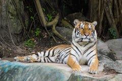 Bengalia tygrys Obraz Stock
