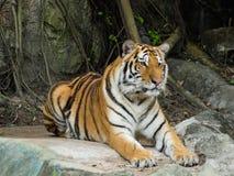 Bengalia tygrys Zdjęcia Royalty Free