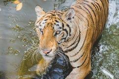 Bengalia tygrys Zdjęcie Stock