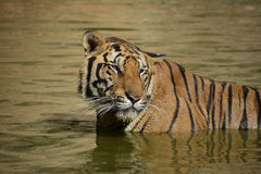 Bengalia tygrys Gapi się Daleko w wodzie Obraz Royalty Free