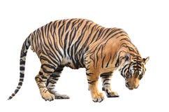 Bengalia tygrys odizolowywający zdjęcie stock