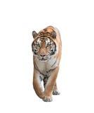 Bengalia tygrys odizolowywający obrazy royalty free