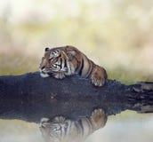 Bengalia tygrys odpoczywa na rockowej pobliskiej wodzie Zdjęcie Royalty Free