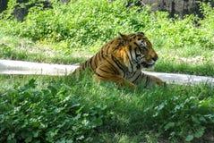 Bengalia tygrys relaksuje na słonecznym dniu w Chatver zoo Chandigarh Pundżab zdjęcie royalty free
