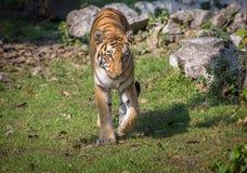 Bengalia tygrys w jego uwiezieniu przy zwierzęcym sanktuarium w India Obrazy Stock