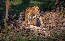 Bengalia tygrys w naturalnego siedliska środowisku Zdjęcie Royalty Free