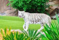 Bengalia tygrys w zoo ogródzie zdjęcie stock