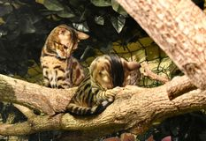Bengals猫 库存图片