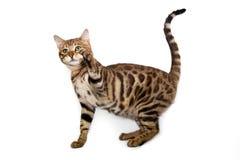 Bengalsy katt som spelar på en vit bakgrund Arkivbilder