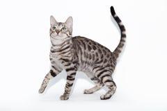 Bengalsy katt som spelar på en vit bakgrund Arkivfoton