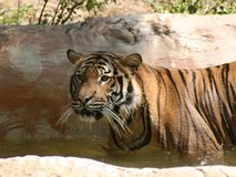 Bengel Tiger. Wading in water Royalty Free Stock Photography