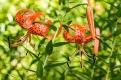Bengelend Tiger Lilies Royalty-vrije Stock Foto
