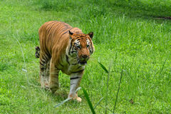 Benggal tiger. A big and old tiger walking into the water stock photo