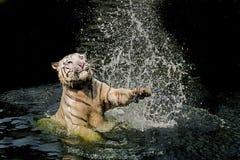 Benggal tiger. A tiger hitting a water and make a beautiful water curtain Royalty Free Stock Photo