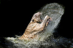 Benggal tiger. A tiger jump from a water and make a beautiful water curtain stock images
