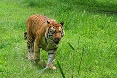 Benggal tygrys zdjęcie stock