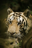 Benggala tiger Royaltyfri Foto