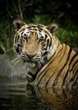 Benggala tiger Arkivfoton