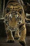 Benggala tiger Arkivbild