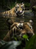 Benggala Tiger Royalty Free Stock Images