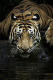 Benggala Tiger Royalty Free Stock Photo