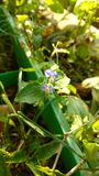 Benghal day flower or tropical spiderwort or wandering Jew or commenina benghalensis Stock Images