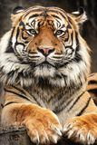 Bengous tiger with a beast expression. Bengal tiger lying on a tree trunk Royalty Free Stock Photography