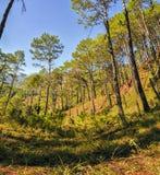 Benguet杉木 免版税库存图片