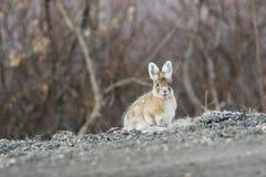 Benieuwd zijnd konijn Royalty-vrije Stock Foto's